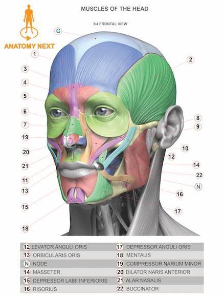 Анатомия для скульпторов ,художников.
