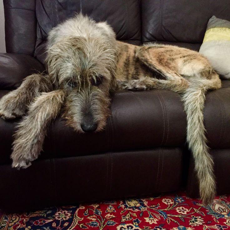 Edward #irishwolfhound