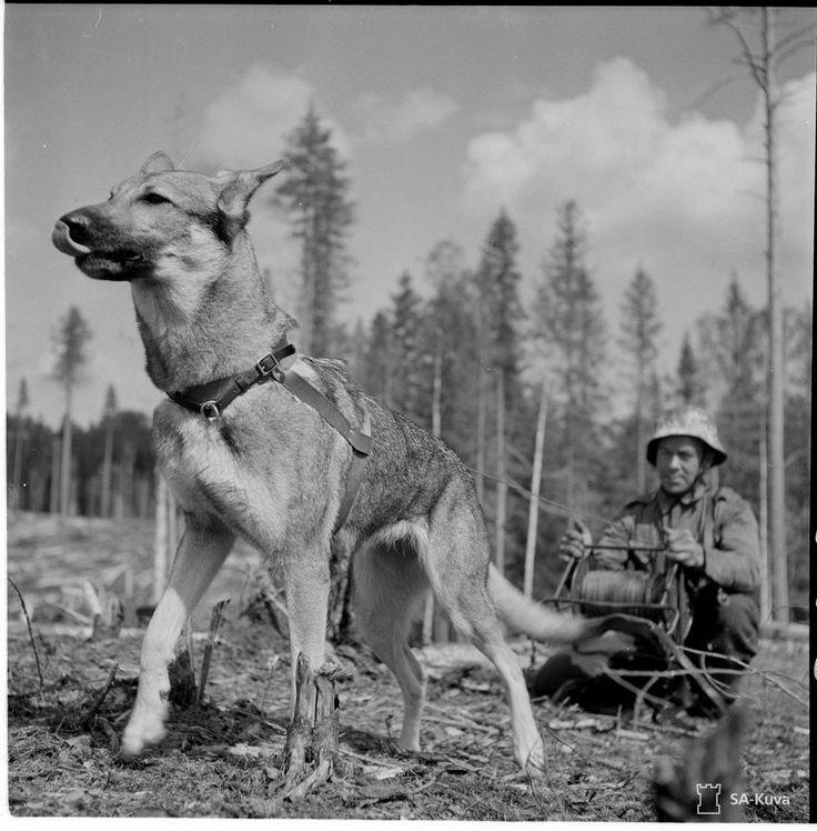 War dog, Continuation War/Jatkosota, Finland, 1941-1944