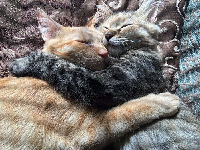 Amoureux, ces deux chats font fondre Internet  Âgés de tout juste 6 mois, Louie et Luna ont récemment été adoptés ensemble. Depuis, ils font le bonheur de leurs maîtres et du Web tant ils forment un couple adorable.