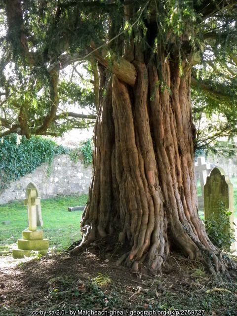 Yew tree, St George's Churchyard (C) Maigheach-gheal :: Geograph Britain and…
