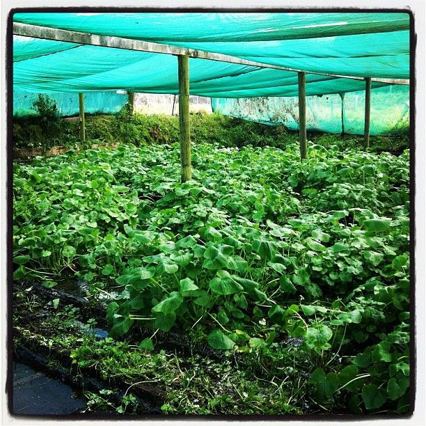 Fresh wasabi patch growing at king salmon hatchery. 5 Sep 2012