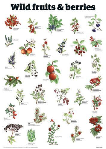 Wild fruits & berries - Guardian Wallchart Prints - Easyart.com