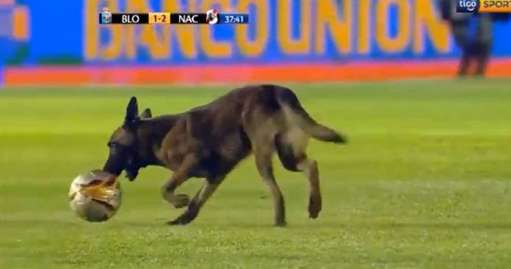 Police dog quits job mid soccer match to become a SPORTS DOG