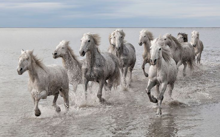 Les chevaux A herd of wild Camargue horses gallop through the waves at the Camargue Nature Park near Arles, France