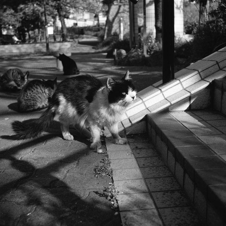 https://flic.kr/p/TSzqcV | Voigtländer Superb (1933),  Skopar 75mm F/3.5 with Y filter,  Kodak TRI-X 400,  Location: near Keihinjima Tsubasa Park, Tokyo, Japan, April 16, 2017 | ally cats