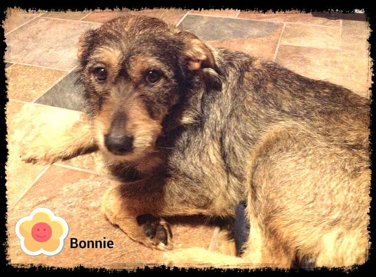 To adopt fill out an adoption form:http://form.jotform.co/form/32893672554869Name: BonnieAge: 1 yearGender: femaleBreed: Schnoodle- Schnauzer/Poodle mixWeight: 30Dog friendly: YesCat friendly: YesChild friendly: YesHouse trained: YesCrate trained:...