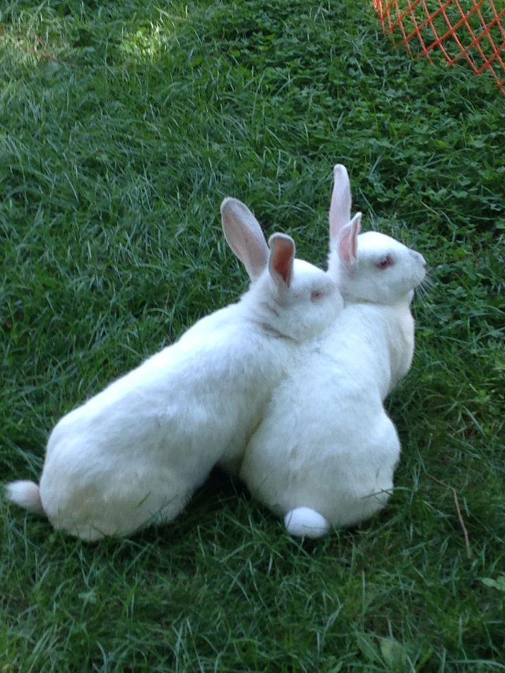 Most favorite picture of my sweet babes Stewie & Bobbie NZ white rabbits