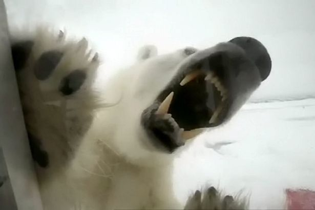 If you eat a polar bear liver, you will die. Humans can't handle that much vitamin A #polarbear #fact #arctic #liver