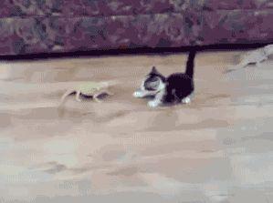 Cat vs Lizard. [video]