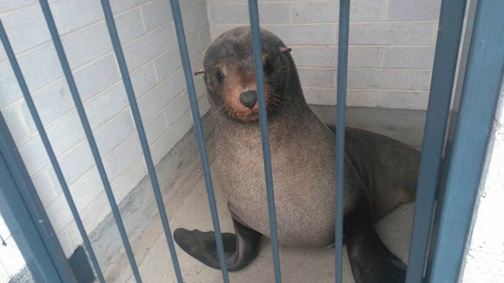 Young seal thinks he's people; makes the public toilet his new homeFree me at once  By Elise Cooper2016-07-27 06:06:07 UTC  A visitor to Devonport Mersey Vale Cemetery in Tasmania got a bit of a shock trying to use the public bathrooms when they discovered a 129 kilogram male fur seal tucked up for a nap in the toilet block.  Karina Moore of the Devonport City Council tells Mashable Australia that the visitor notified council workers at the cemetery after discovering the tired and grumpy…