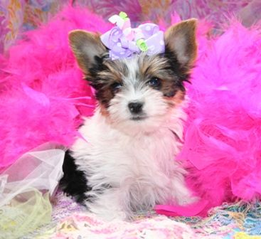 Parti Yorkies, Parti Yorkies for sale, Party Yorkies for sale ...