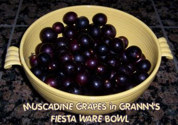 Muscadine Wine recipe - must remember to do this next year before all our Musadines dry up:(