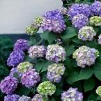 2 Gal. BloomStruck Hydrangea(Macrophylla) Live Deciduous Shrub, Pink or Blue or Purple Blooms