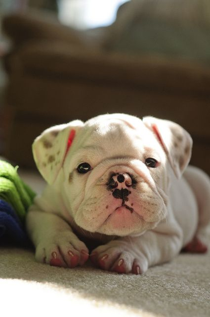 Look at that endlessly cute, wrinkly, super kiss-able little face! #cute #puppy #dog #bulldog #pets #animals #pink #wrinkly
