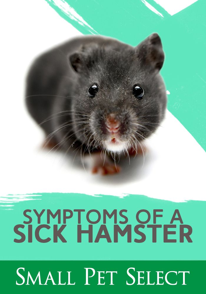 How Do You Know If Your Hamster Is Sick Small Animals Are Very Good At Hiding Weakness So How Do You Know If Your Hamster Is Sick Pets Pet Vet