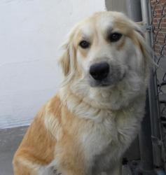 Lily is an adoptable Golden Retriever Dog in Knoxville, TN.  Lily is thought to be about 3 years old. Very sweet and gets on well with other dogs and is eager to please. ADOPTABLE GOLDENS...