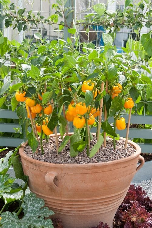 Bell peppers in beautiful terracotta pot in garden; maybe we could actually grow some peppers finally!