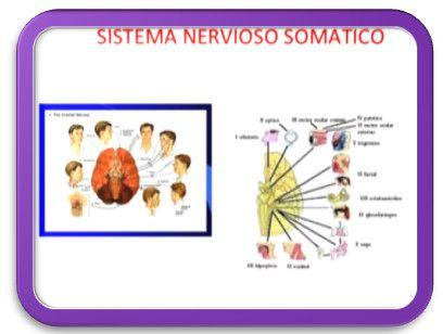 El sistema nervioso somático (SNS) está formado por neuronas sensitivas que llevan información (por ejemplo, sensación de dolor) desde los receptores sensoriales (de los sentidos: piel, ojos, etc.) –fundamentalmente ubicados en la cabeza, la superficie corporal y las extremidades–, hasta el sistema, y por axones motores que conducen los impulsos a los músculos esqueléticos, para permitir movimientos voluntarios como saludar con la mano o escribir en un teclado. El SNS abarca todas las…