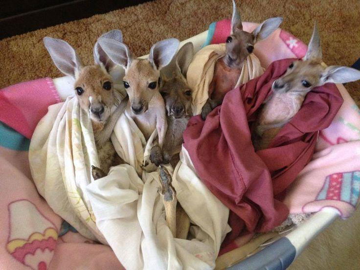 Leurs mamans ont été tuées par des voitures, mais ces kangourous orphelins ont pu être