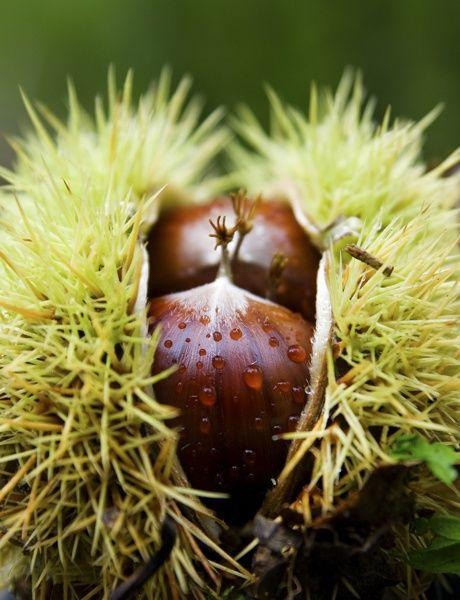 Chestnuts  #food #piemonte #italy #provinciadicuneo