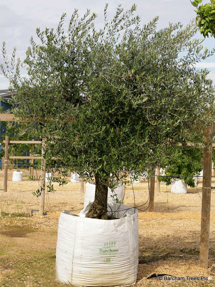 instant olea europaea trees with edible fruits and nuts container grown at. Black Bedroom Furniture Sets. Home Design Ideas