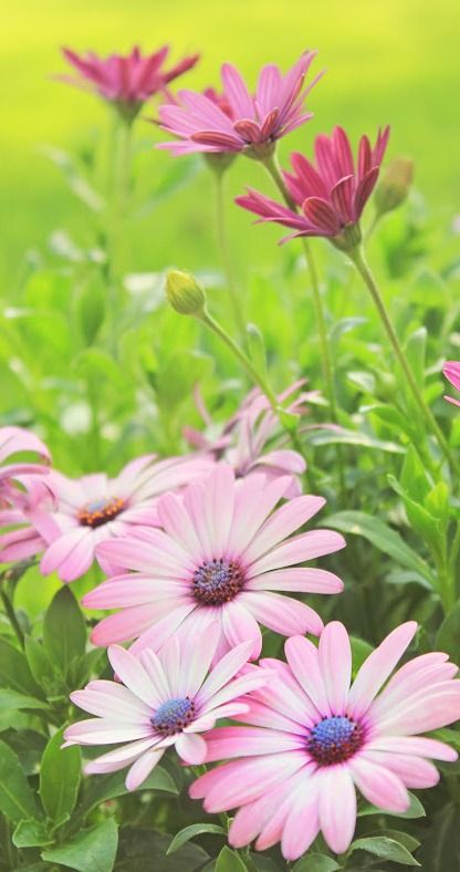 pink African daisies