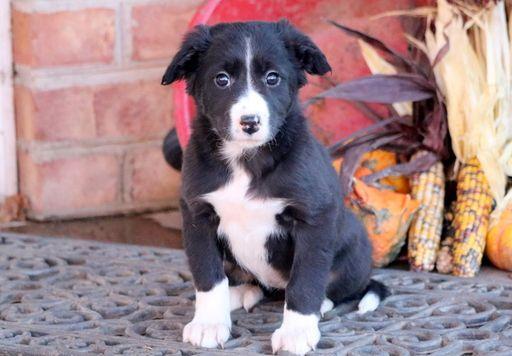 Border Collie puppy for sale in MOUNT JOY, PA. ADN-53673 on PuppyFinder.com Gender: Female. Age: 7 Weeks Old