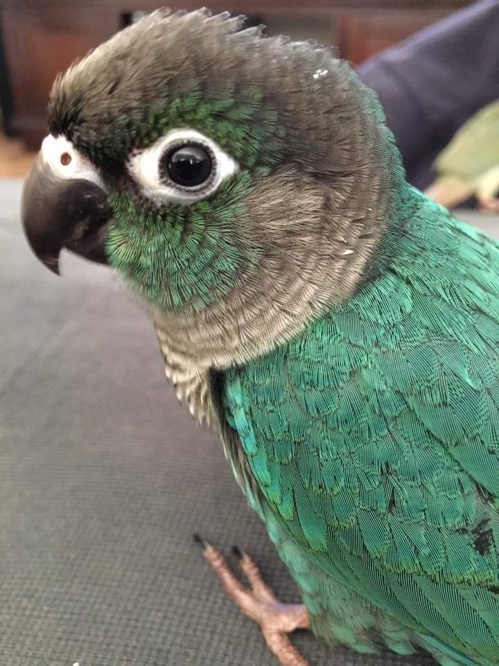 ♥ Pet Bird Stuff ♥ turquoise green cheek conure