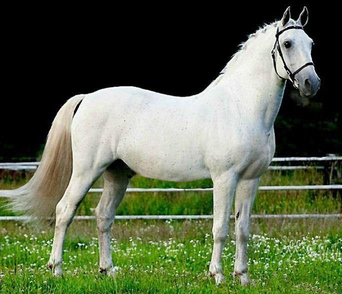 Lipizzaner Stallion Siglavy Capriola Convoj Horses Pinterest