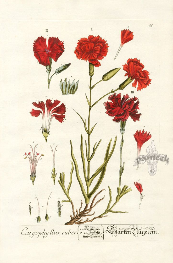 Carnation. Elizabeth Blackwell Curious Herbal Prints 1757
