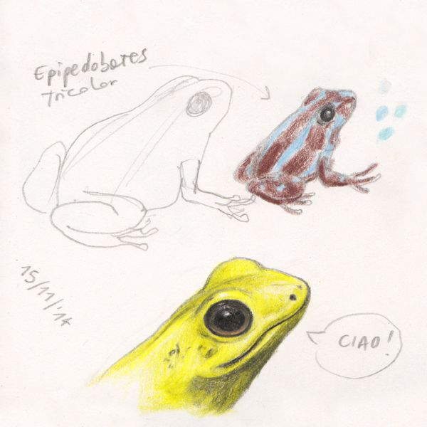 "Hello! Dart frogs sketch, for ""Ciacio in Amazonia"" picture book by Sarah Khoury"