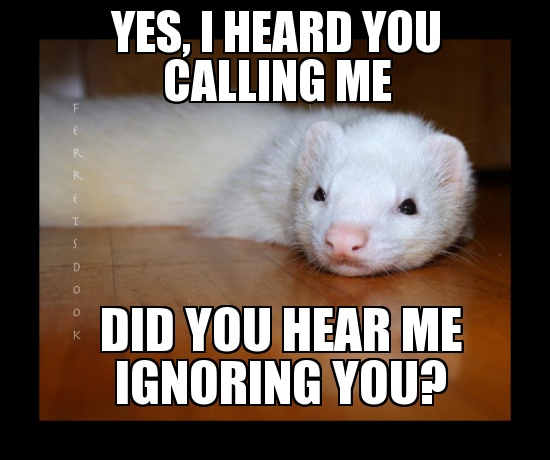 Quotes About Love: Best 25+ Funny Ferrets Ideas On Pinterest