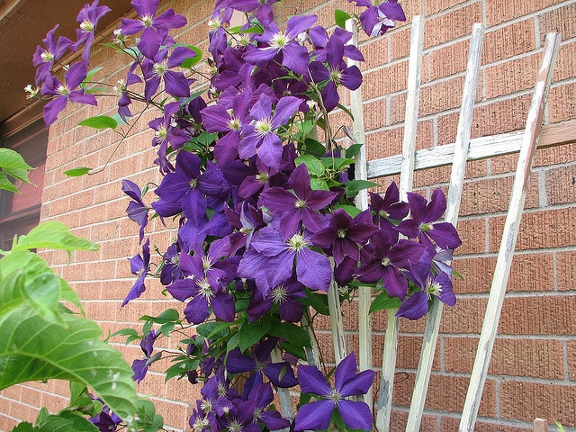 Purple Clematis!  Love this!