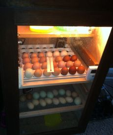 DIY incubator.  How to build.  Step-by-step info. Capacity: 164 eggs.  List of supplies included.