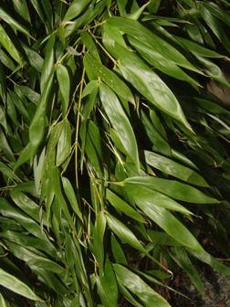 Phyllostachys bissetii listy