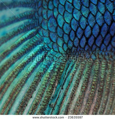 Fish Scales Close Up | Close-up on a fish skin - blue Siamese fighting fish - Betta Splendens ...