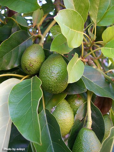 アボカドは世界中で3000品種以上あり、大きく分けて、メキシコ系、グアテマラ系、西インド諸島系、雑種に分かれます。