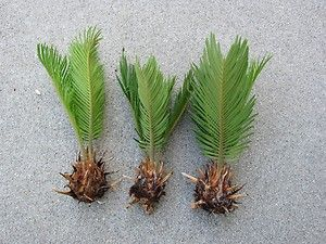 HOW TO GROW THE SAGO PALM FROM SEED  The Garden of Eaden