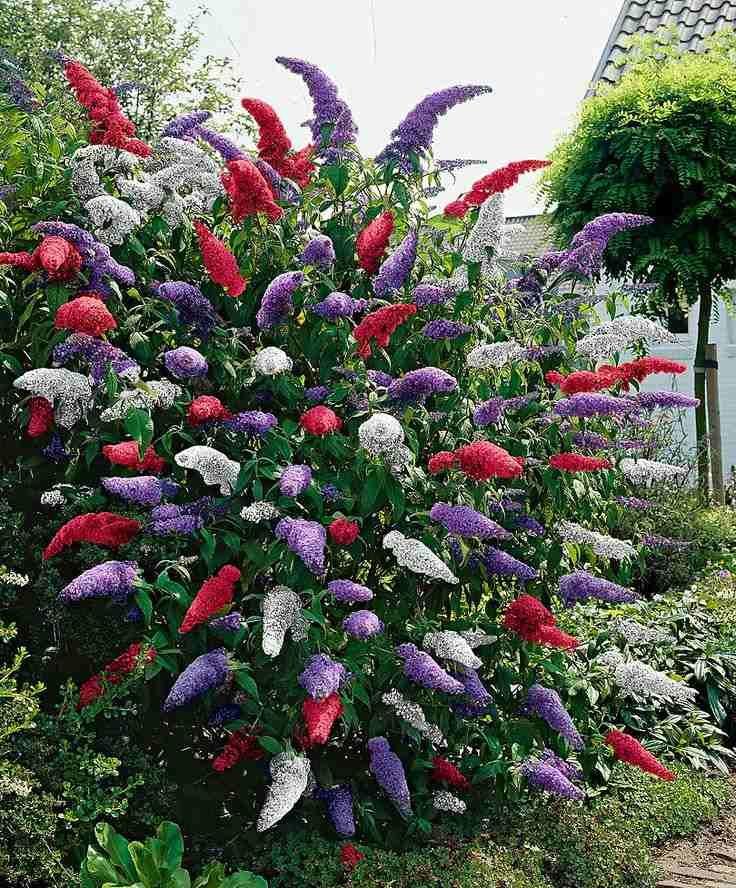 arbuste persistant au jardin- arbre au papillons Buddleia de Davide