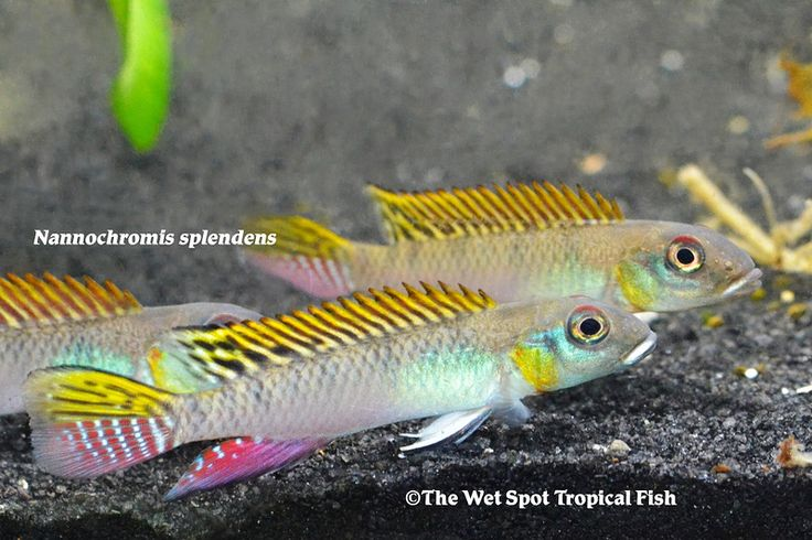 Wet Spot Tropical Fish | Nanochromis