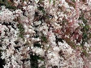 pink jasmine: Ehow Uk, Gardens Ideas, Flowers Gardens, Winter Jasmine, Flowers Vines, Flora Fave, Fave Plants, Pink Jasmine, Pruning Pink