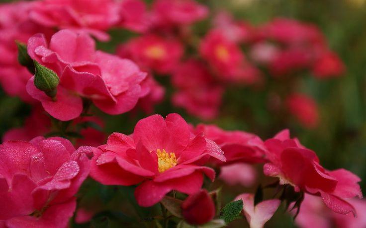цветы, яркие, розовые, лепестки, роса, куст, Розы, капли