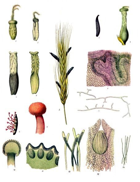 Schimmelziekte moederkoren of moederkoorn; levensbedreigende aandoening van graan, nu weinig meer voorkomend