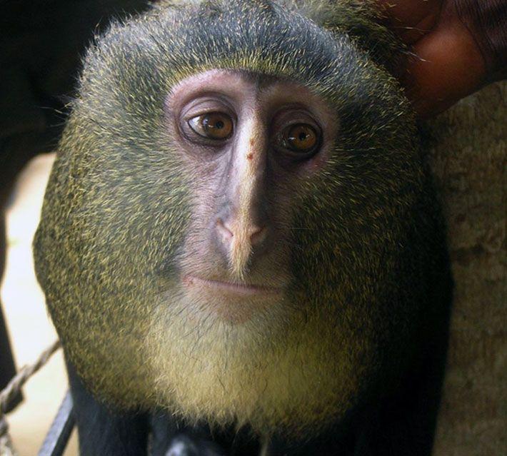 Hart JA, Detwiler KM, Gilbert CC, Burrell AS, Fuller JL, et al. (2012):De aap lesula werd ontdekt door wetenschappers in het hart van het bos van de Congo. Deze mysterieuze soorten primaten is zo bang dat ze kon worden geïdentificeerd alleen in 2007, tijdens de observatie mogelijk gemaakt door een fotografische val geïnstalleerd in zijn natuurlijke habitat. Terwijl u wacht voor meer informatie over de aap lesula, de Internationale Unie voor het behoud van de natuur wordt beschouwd als een…