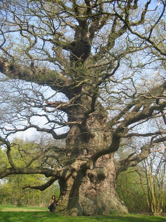 Majesty  The Fredville Oak, Kent, England In Kent