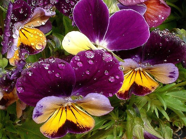 Pansies%20with%20rain%20drops