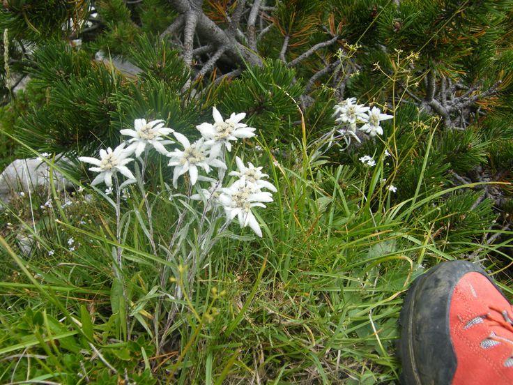 Edelweiss....