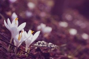 Crocuses Flowers White Sepia Colors Forest HD Wallpaper