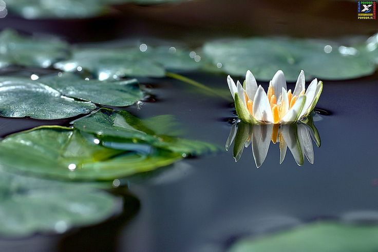 """#34 IFC Editor's Choice 01-11-2014""""Nymphaea thermarum"""" (Ph. Wolfgang) https://www.flickr.com/photos/x3wolfgang/ Sigma SD15 http://forum.foveon.it"""